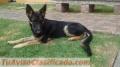 Vendó perro pastor alemán