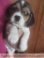 Vendo cachorros beagle tricolor puros
