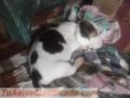 vendo-cachorros-beagle-tricolor-puros-3.jpg