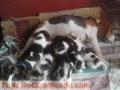 vendo-cachorros-beagle-tricolor-puros-5.jpg
