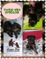 Mascotas Yorkie Mini
