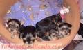 Vendo lindas cachorritas yorkhire