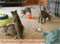 ofrece-gatitos-savannah-venta-1.jpg