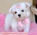 Cuccioli maltese adorabile per l'adozione