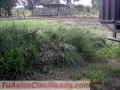 Semilla haz macolla plantaciones madres vetiver colombia - asesoria.