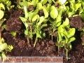 Semillas limoncillo swinglea cercas vivas colombia