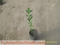 Semillas citricos y frutales colombia