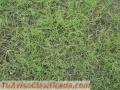 Semilla pasto bermuda grass