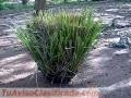 Vetiver - semilla - haz - macolla - colombia y venezuela.