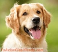 Peluqueria Canina para Perros Raza Golden Retriever