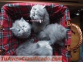 Stunning male and female persian kittens available for adoption