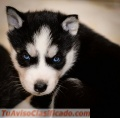 We now have male and female siberian husky puppies for adoption