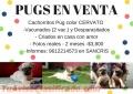 pugs-en-venta-5.jpg