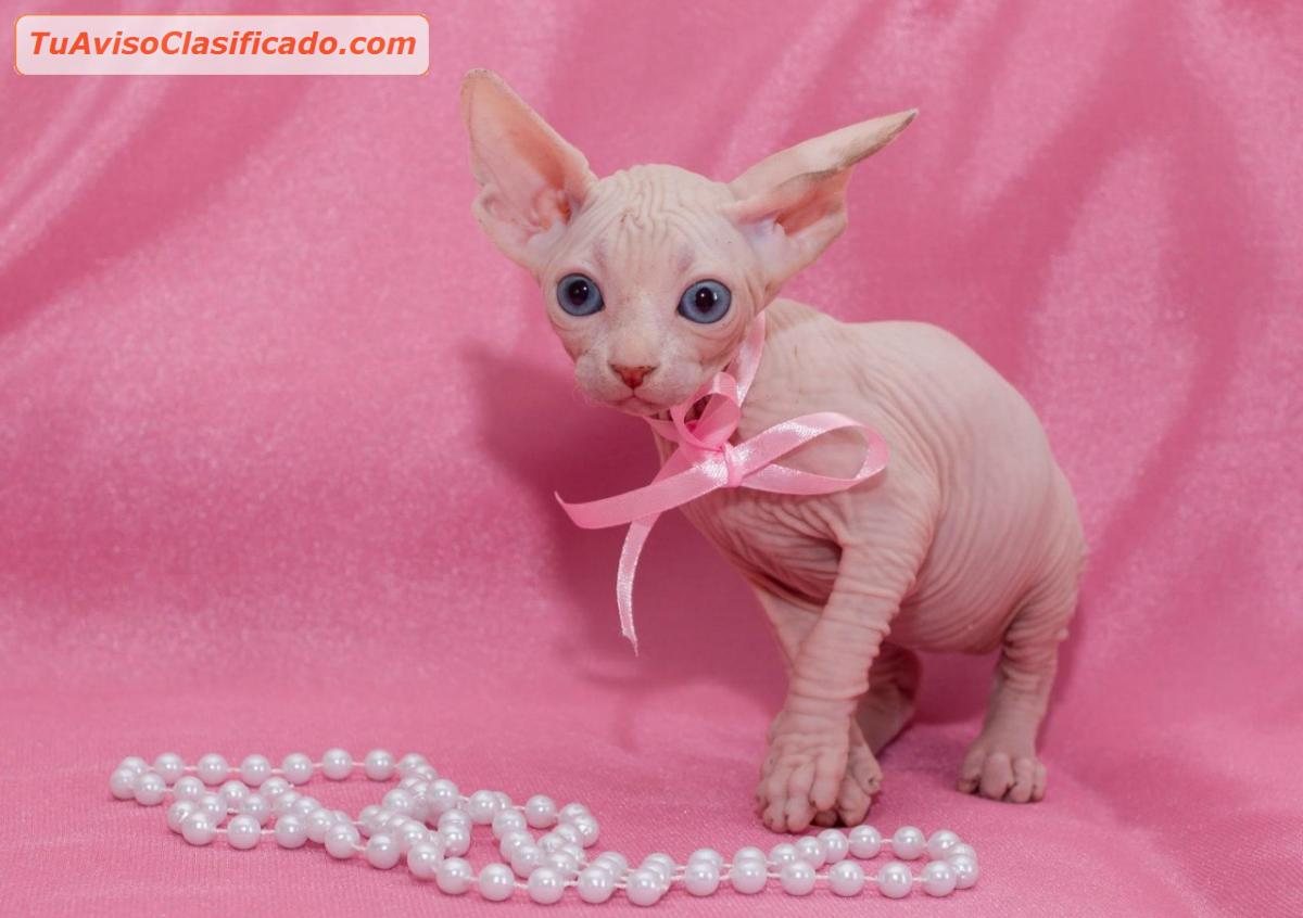 Gorgeous male sphynx kitten for sale (410) 618-4397