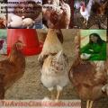 Pollos de engorde por cajas ala venta