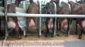 Vendita de capras murchianas de la Spagna