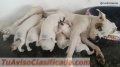 Cachorros Boxer Blancos