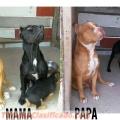 hermosa-cachorra-pitbulls-apbt-3.jpg