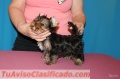 Males and females Teacup Yorkie Puppies