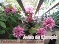 plantas-y-semillas-de-flores-de-san-juan-2593-2.jpg