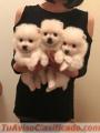Lindos cachorros de Pomerania para addoption
