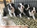 Cachorros de Boston Terrier muy saludables y lindos para ti.