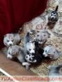 Hermosos cachorros de husky siberiano.