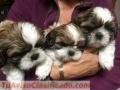 Preciosos cachorros shih tzu listosv