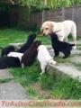 Dos cachorros de Labrador