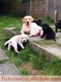 Dulces cachorros labrador