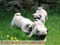 Lindos cachorros Pug para Adopción