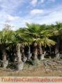 trachicarpus-fortunei-1.jpg
