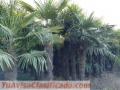 trachicarpus-fortunei-2.jpg