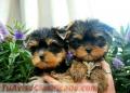 Cachorros de yorkie encantadores para la venta,
