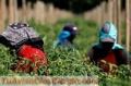 Se busca personal para trabajar en la campaña de la fresa y otras campañas de frutas