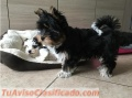 REHOMING YORKIE PUPPIES