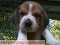 Hermosos beagle tricolor puros