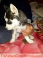 Vendo cachorrito Husky
