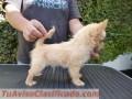 Venta de Chihuahua Macho pelo largo con pedigree