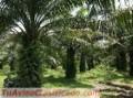 ventas-de-fincas-de-palma-africa-y-terrenos-agricolas-2.jpg