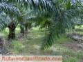 Ventas de fincas  de palma africa y terrenos agricolas