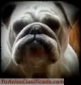 Cachorros de Bulldog Inglés. Excelente Genética.