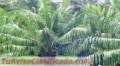 FINCA CON PALMA AFRICANA EN PRODUCCION AREA DE PETEN