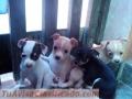 Vendo Cachorritos Chihuahua