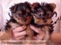 Taza de té yorkie cachorros disponibles (909) 389-5762