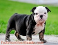 Camada bulldog ingles con pedigree